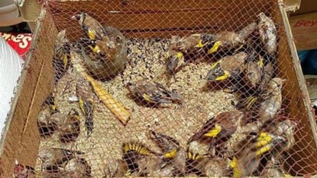 """الدريوش.. تفكيك شبكة للإتجار غير القانوني في فصيلة مهددة بالإنقراض من طائر """"الحسّون"""""""
