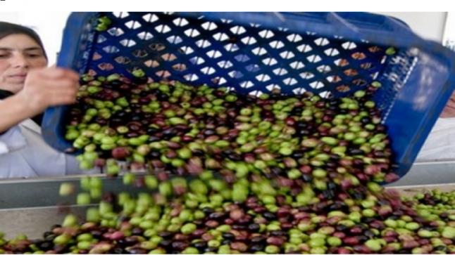 وزارة الفلاحة: حجم الإنتاج الوطني من الزيتون بلغ حوالي 2 مليون طن خلال سنة الماضية